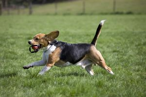 Dog - Beagle running in garden with ball in mouth
