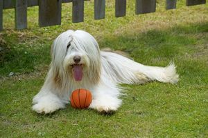 DOG - Bearded collie playing with ball