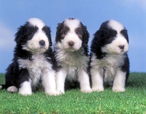 Dog - Bearded Collie - Three puppies