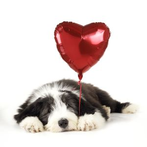 Dog. Bearded Collie puppy lying down with heart shaped balloon