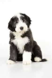 Dog. Bearded Collie puppy sitting