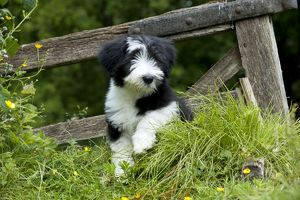 DOG - Bearded collie puppy. sitting in front