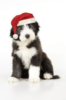 Dog. Bearded Collie puppy sitting wearing Christmas hat