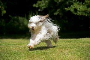 DOG - Bearded collie running through garden.