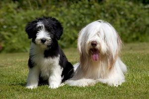 DOG - Bearded collie sitting with bearded collie