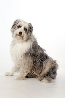 DOG - Bearded collie X sitting