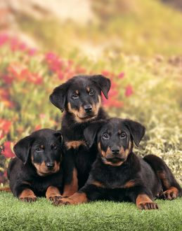 Dog - Beauceron