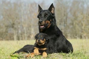 Dog - Beauceron / Bas Rouge / Berger de Beauce - adult and puppy.