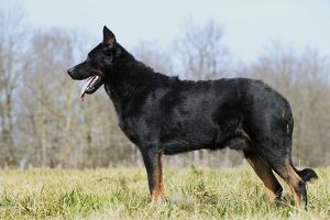 Dog - Beauceron / Bas Rouge / Berger de Beauce - adult, side view.