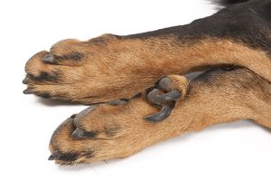 Dog - Beauceron - close-up showing double dewclaws