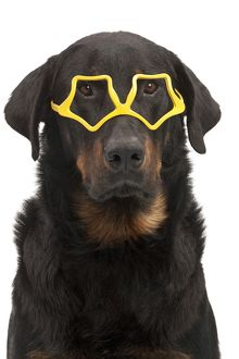 Dog - Beauceron - in glasses