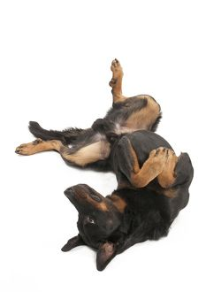 Dog - Beauceron - laying on it's back