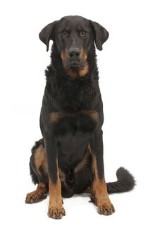 Dog - Beauceron - sitting