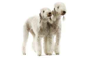 Dog - Bedlington Terrier