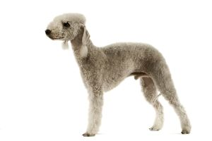 Dog - Bedlington Terrier. Also known as Rothbury Terrier studio