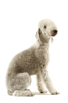 Dog - Bedlington Terrier. Also known as Rothbury Terrier