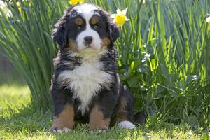 Dog Bernese Mountain Dog