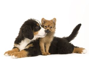 Dog - Bernese Mountain Dog with Dwarf Spitz - puppies