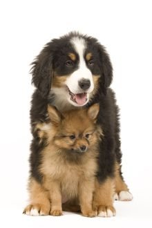 Dog - Bernese Mountain Dog with Dwarf Spitz - puppies.