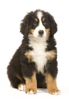 Dog - Bernese Mountain Dog - puppy