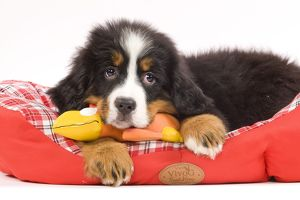 Dog - Bernese Mountain Dog puppy with dog toy on bed in studio