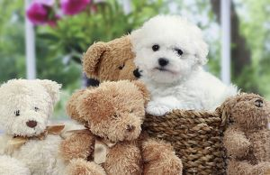 Dog Bichon Frise