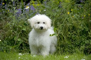 DOG - Bichon Frise X Poodle standing in garden