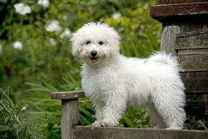 DOG - Bichon Frise X Poodle standing on garden bench