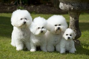 Dog - Bichon Frise x3 and 8 week old puppy