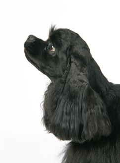 DOG. Black American cocker spaniel