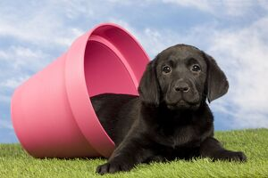Dog - Black Labrador - puppy. in flowerpot