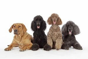 DOG. Black poodle, grey poodle, brown miniature poodle and dog