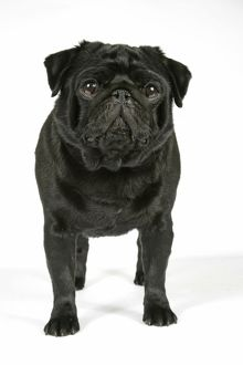 DOG. Black pug puppy