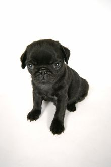 DOG. Black pug puppy (6 weeks old)