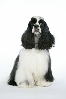 DOG. Black and white American cocker spaniel