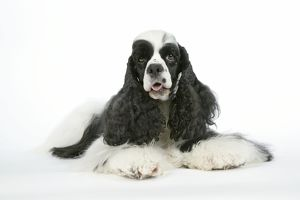 DOG. Black and white American cocker spaniel lying down