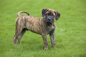 Dog - Boerboel - puppy in garden