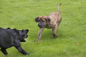 Dog - Boerboel - puppy playing with Black Labrador in garden