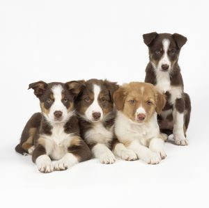 DOG - Border Collie cross puppies