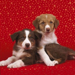 DOG - Border Collie cross puppies on starry background