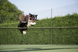Dog - Border collie jumping over tennis net with racquet in mouth