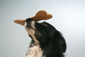 Dog - Border collie with large biscuit on his nose