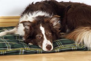 DOG - Border Collie lying on its bed