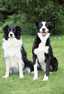 DOG - Border Collie and Smooth Collie