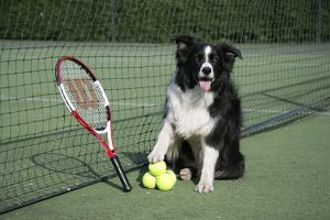 Dog - Border collie with tennis balls on court