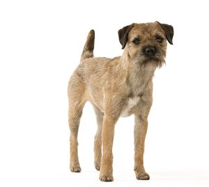 Dog - Border Terrier
