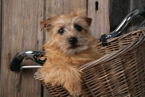 DOG - Border Terrier in bicycle basket