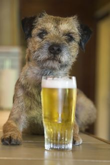 Dog - Border Terrier - in pub with pint of beer