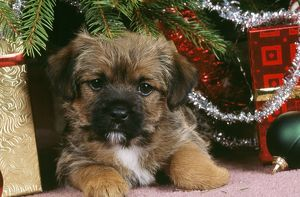 DOG - Border Terrier Puppy under Christmas Tree