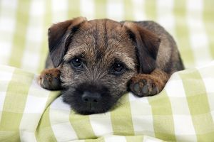 <b>Border Terrier</b><br>Selection of 149 items